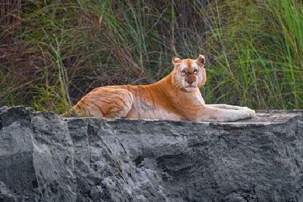 Rare Golden Tiger has seen in Kaziranga National Park