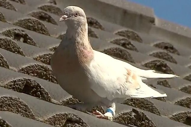 Australian authorities hunt for a dove reportedly came from US