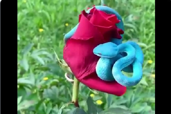 Blue colour pit viper attracts attentions on social media