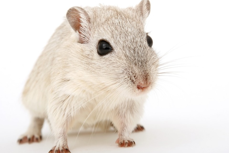 rat goes under the knife
