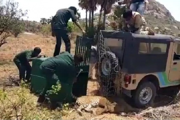Leopard dies of internal wounds while shifting to Zoo