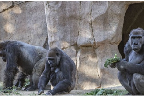 San Diego Zoo gorillas test positive for corona
