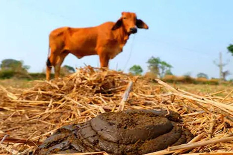 Increasing Cow Dung theft in Chchattishgarh