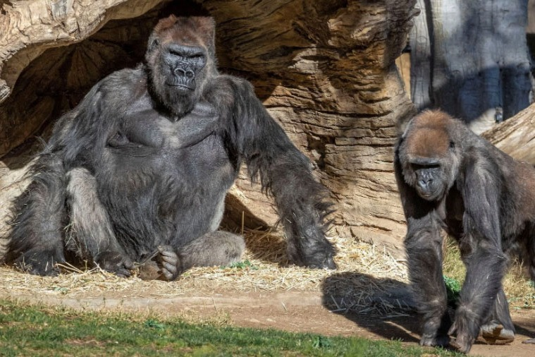 San Diego Zoo apes get an experimental animal vaccine against coronavirus