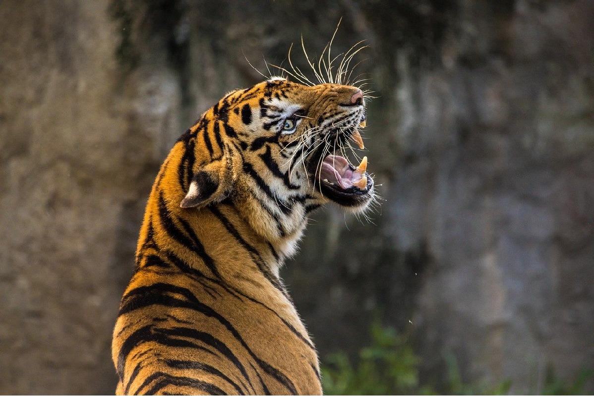 2 killed in tiger attack in Chandrapur