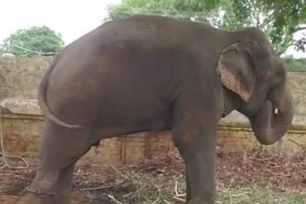 elephant mittu will be released on parole in varanasi