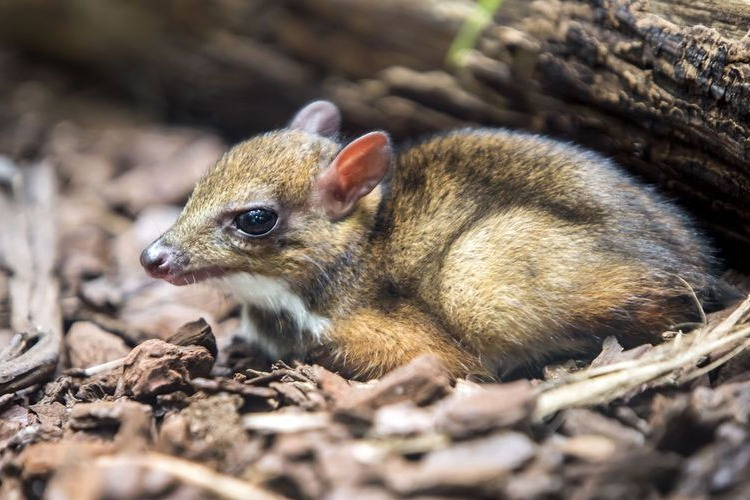 Rare mouse deer found in kommepalli forest