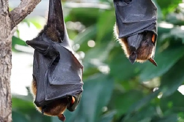 Thousands of Bats Died in Uttar Pradesh
