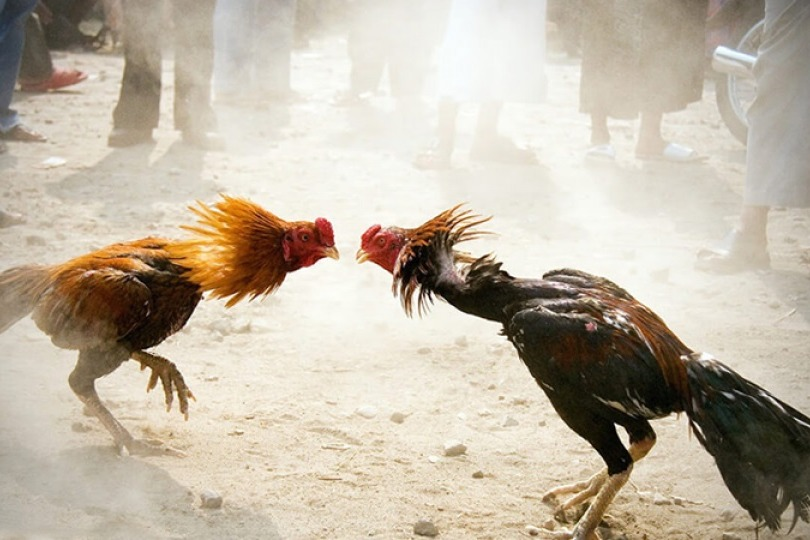 Cock Fightings Amid Police Rules in AP