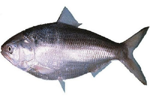 Huge Rate for Pulasa Fish