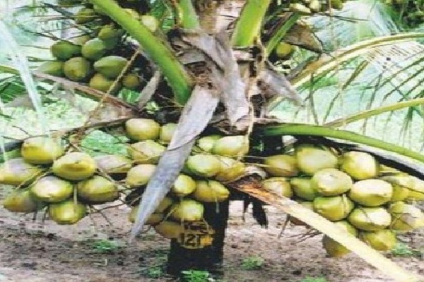 Coconut Veraity that gives above 100 Coconuts in 2 Feet High