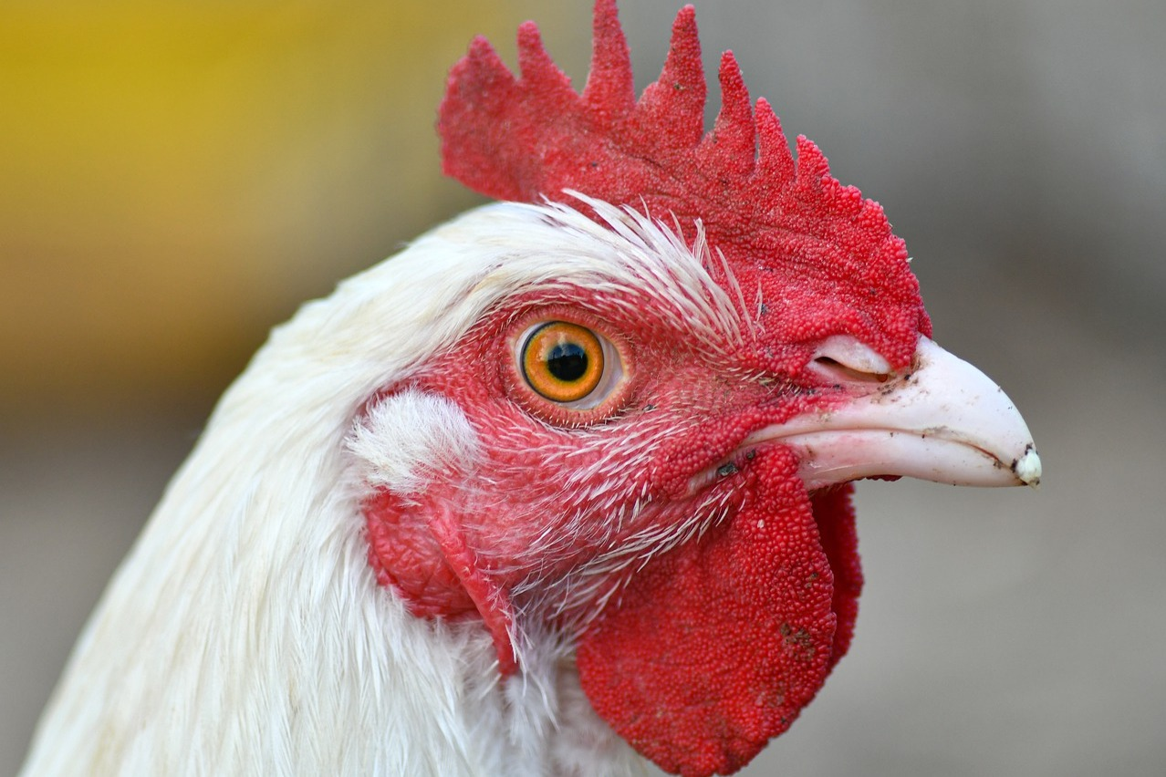 Chicken rate hiked to Rs 260 in Telangana