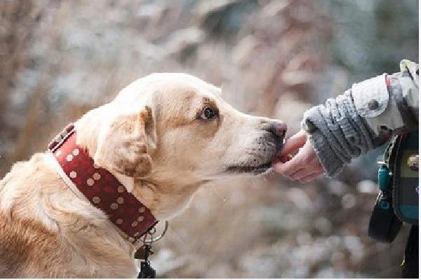 Pet dog helps drunken owner