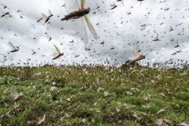 Locusts Coming Towards Telangana