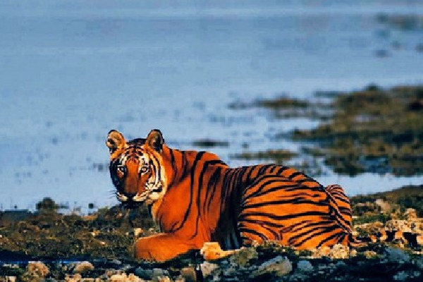 Tiger from Kaziranga National Park rested in a goat shed