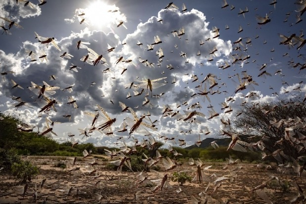DGCA issues alert to all airlines about locust swarm