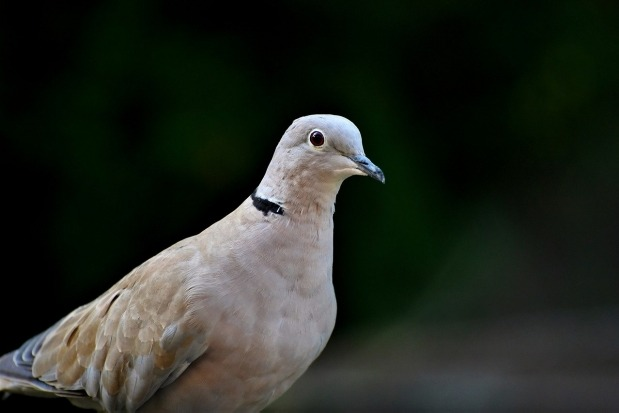 Pigeon caught by people in Jammu and Kashmir