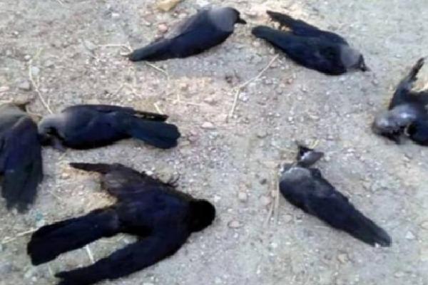 Mistary Deaths of Crows in Tamilnadu