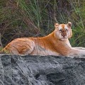 Rare Golden Tiger has seen in Kaziranga National Park
