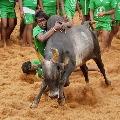 Tamilnadu government permits Jallikattu with covid regulations