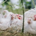 chicken rates down in india