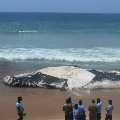 Caracas of Blue Whale washed ashore of Tamilnad