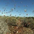 India may face bigger locust attack warns UNO