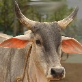 Son of Panneerselvam makes cow and an ox reunion in Tamilnadu