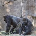 San Diego Zoo gorillas test positive for corona