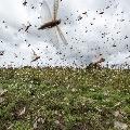 Locust swarm travelling towards Madhya Pradesh