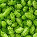 Hop Shoots the most costliest vegetable in the world
