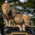 Lions in Hyferabad Zoo suffers with corona type symptoms