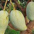 noorjahan mango rate 1000