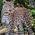 Leopard  in hyd
