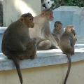 Woman dies of monkeys attack in Suryapet district