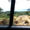 Lioness opens safari car door with her teeth  Scary old video goes viral