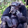 Chimponje Suji Died in Hyderabad Zoo