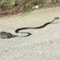 Rat fights with snake for mouse