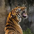 man died in tiger attack in kumaram bheem dist