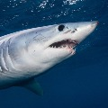Need to Slaughter 5 Lakh Sharks for Corona Vaccine