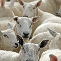 400 Sheeps Sacrifies to Remove Corona in Jarkhand