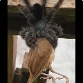 Giant spider eating a bird as video went viral