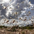 Madhya Pradesh Swarms of locusts being scared away by the district administration in Panna