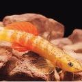 tejas thackeray find new fish