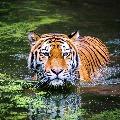 Tiger kills girl in kumaram Bheem Asifabad district