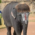 Elephant grabs attention with a unique hair style