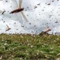 Locust swarm travelling towards Madhya Pradesh and Jharkhand