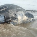 Dead whale washes up at Mandarmani sea beach