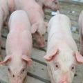 African swine fever kills pigs