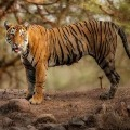 Tiger in New York Zoo Tests Positive for Coronavirus